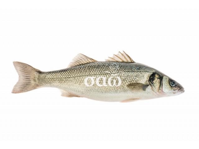 European sea bass – Dicentrarchuslabrax