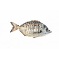 Sharpsnout seabream – Diploduspuntazzo