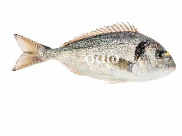 Sea bream - Sparusaurata